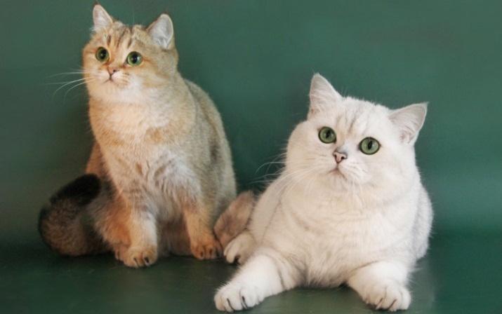 Золотые коты британской шиншиллы